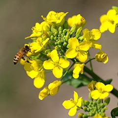 セイヨウミツバチのフォト作品