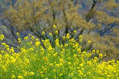 新緑の菜の花