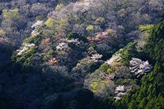群馬の山桜