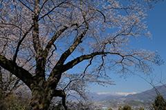 沼田公園の桜
