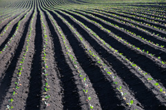 春のキャベツ畑