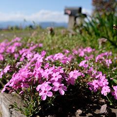 芝桜のフォト作品