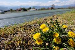 春のセイヨウタンポポ