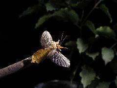 飛翔するビオクラツムコノハムシ