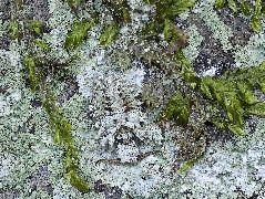 コマダラウスバカゲロの幼虫