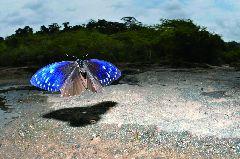 ムラサキマネシアゲハ