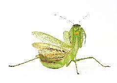 チョウセンカマキリ