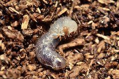 脱皮をするカブトムシ