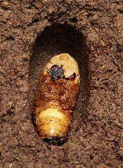 カブトムシの雌