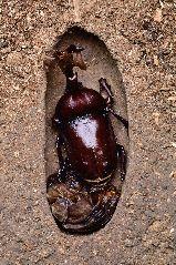 羽化をするカブトムシ