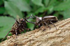争うカブトムシ