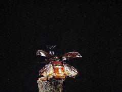 飛翔するカブトムシ