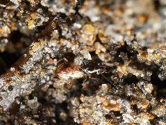 キバネキバナガミズギワゴミムシ