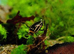 シマゲンゴロウ
