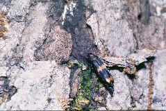 キオビホソナガクチキムシ