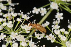 チャイロヒメハナカミキリ