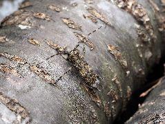 ナガゴマフカミキリ