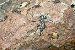 ヒゲナガモモブトカミキリの雌