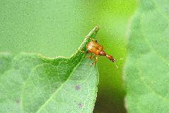 キイロヒゲナガオトシブミの雌