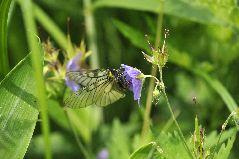 ヒメウスバシロチョウの雌