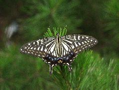 ナミアゲハの雌