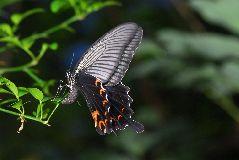 クロアゲハの雌