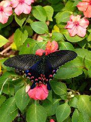 オキナワカラスアゲハの雌