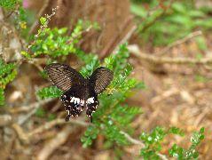 シロオビアゲハの雌