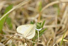 ヒメシロチョウの雌