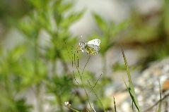 クモマツマキチョウの雌