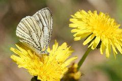 スジグロシロチョウの雌