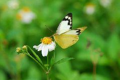 ナミエシロチョウの雌