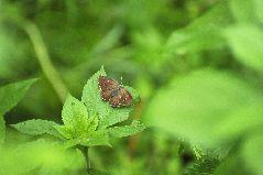 ミドリシジミの雌