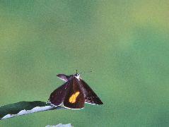 メスアカミドリシジミの雌