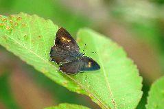 アイノミドリシジミの雌