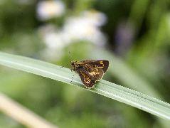 ヒメキマダラセセリの雌