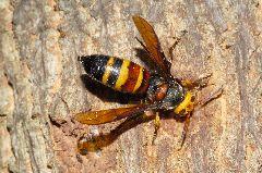 ヒメスズメバチ