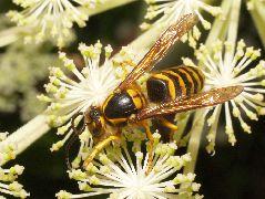 キオビホウナガスズメバチ