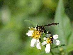 ハラナガスズバチ