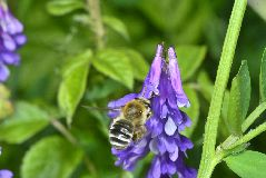 シロスジヒゲナガハナバチの雌