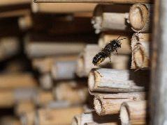 コツノツツハナバチの雌