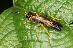 オオツマグロハバチ