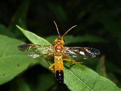 ウスツマクロハバチ