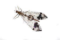マダラウスバカゲロウ