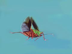 飛翔するアオクチブトカメムシ