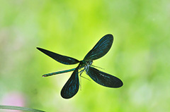 飛翔するアオハダトンボ