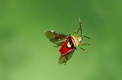 飛翔するエサキモンキツノカメムシ