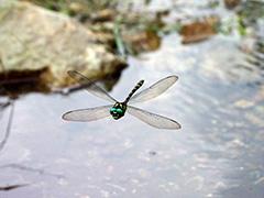 飛翔するオニヤンマ