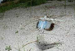 飛翔するカワラバッタ
