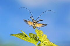 飛翔するキボシカミキリ